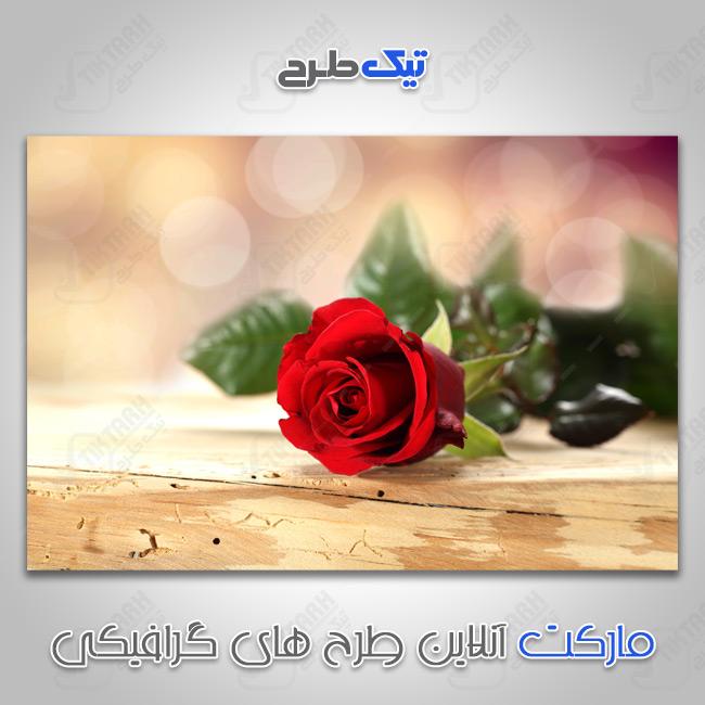 دانلود عکس با کیفیت گل رز قرمز زیبا
