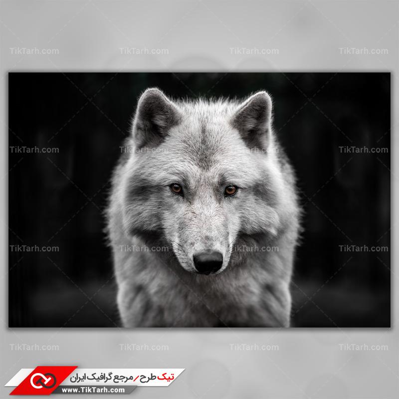 دانلود عکس با کیفیت گرگ خاکستری