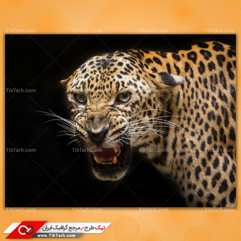 دانلود تصویر با کیفیت پلنگ