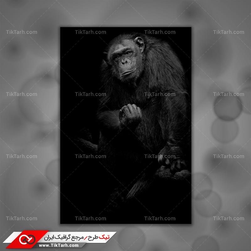 دانلود تصویر با کیفیت میمون سیاه