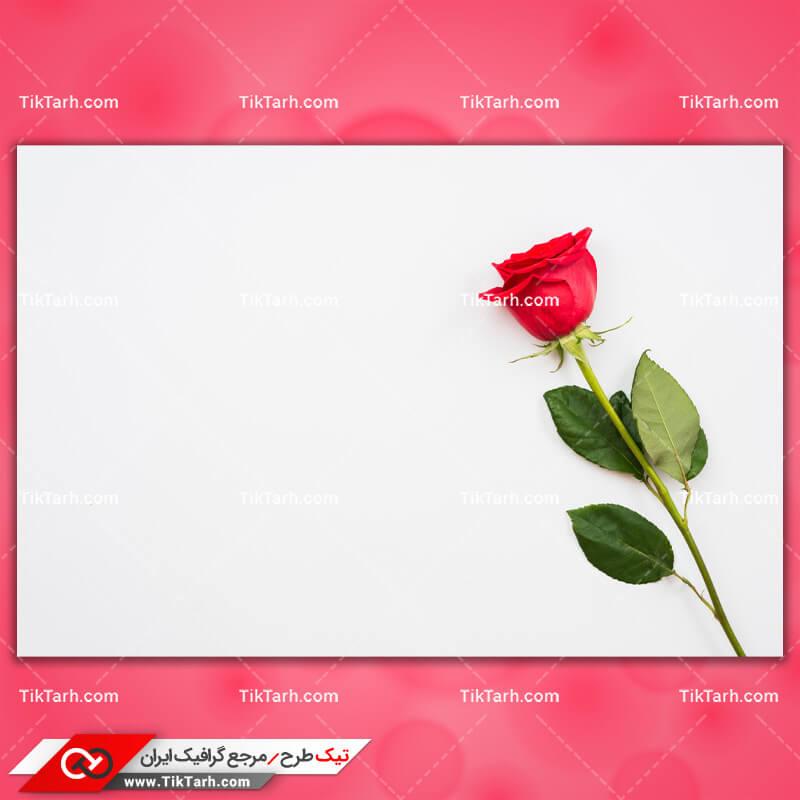 دانلود تصویر با کیفیت شاخه گل رز قرمز