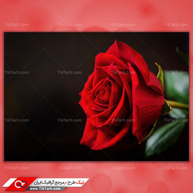 دانلود عکس باکیفیت گل رز قرمز