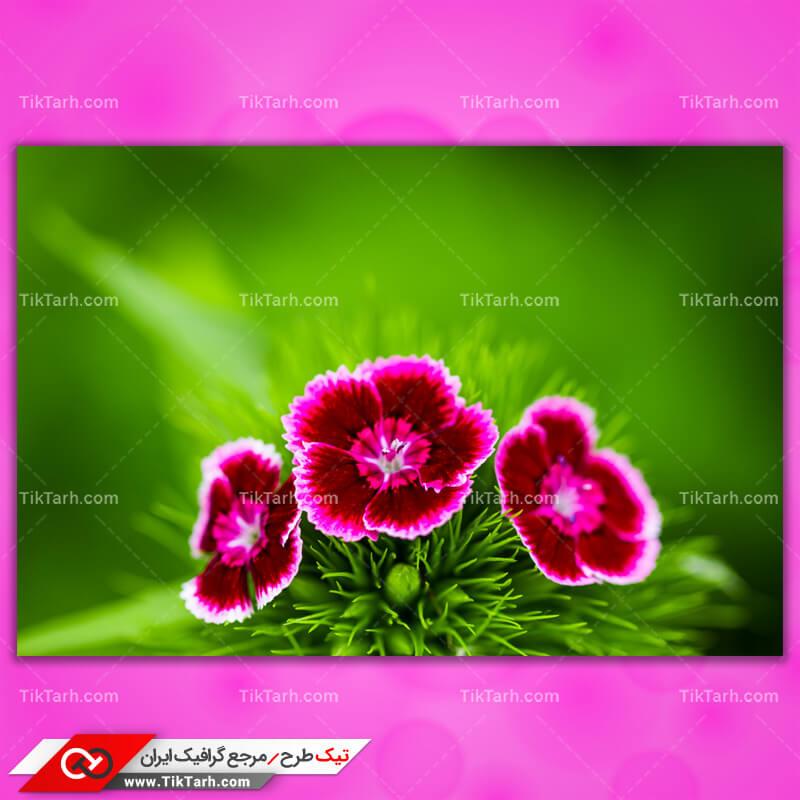 دانلود تصویر با کیفیت گل های صورتی