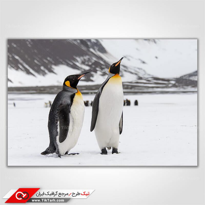 دانلود تصویر با کیفیت پنگوئن