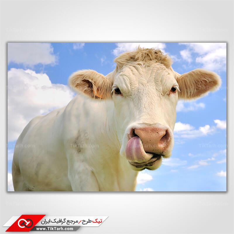 تصویر با کیفیت گاو سفید