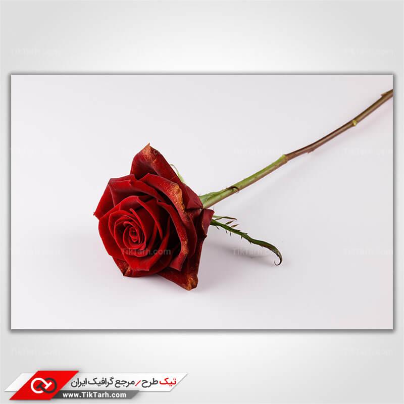 عکس با کیفیت گل رز قرمز