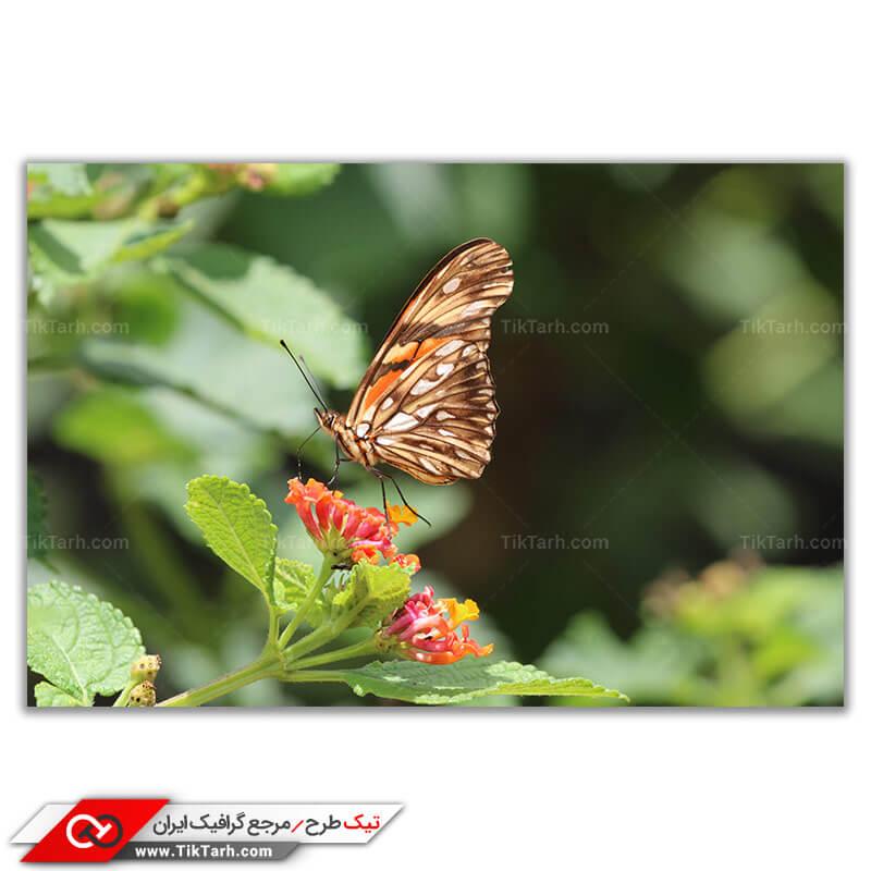تصویر با کیفیت پروانه قهوه ای
