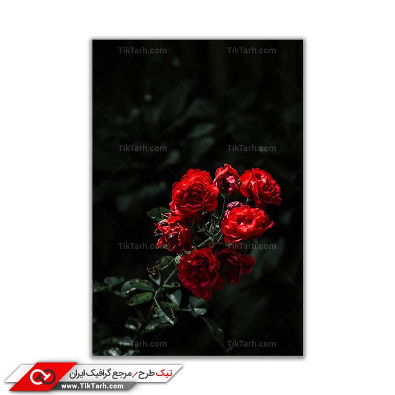 تصویر باکیفیت بوته گل رز