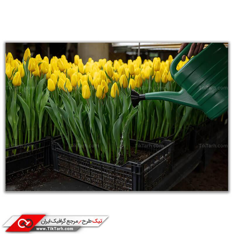 تصویر باکیفیت پرورش گل لاله