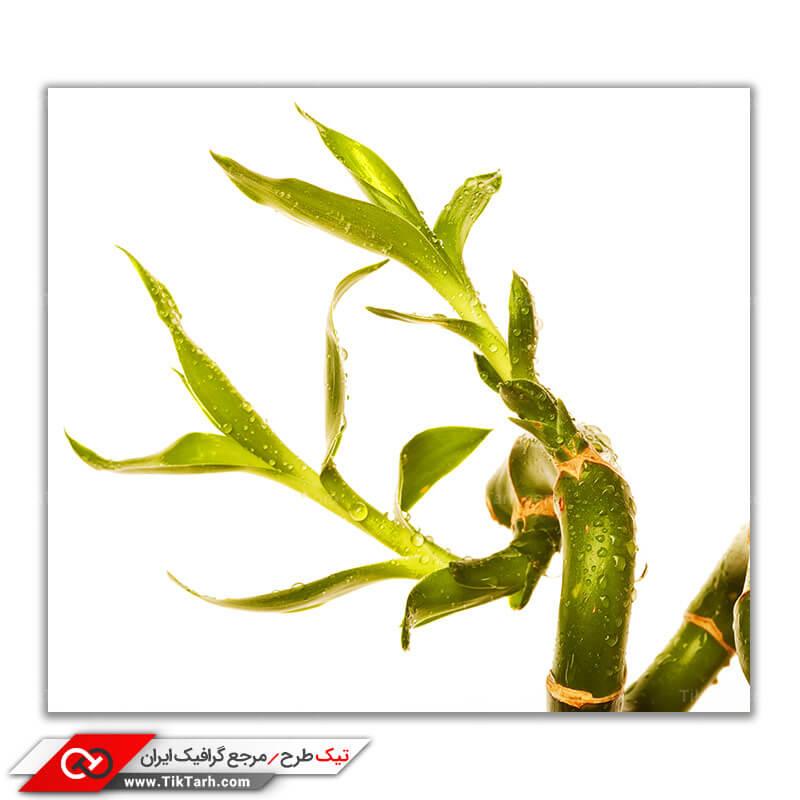 دانلود تصویر باکیفیت از گیاه بامبو