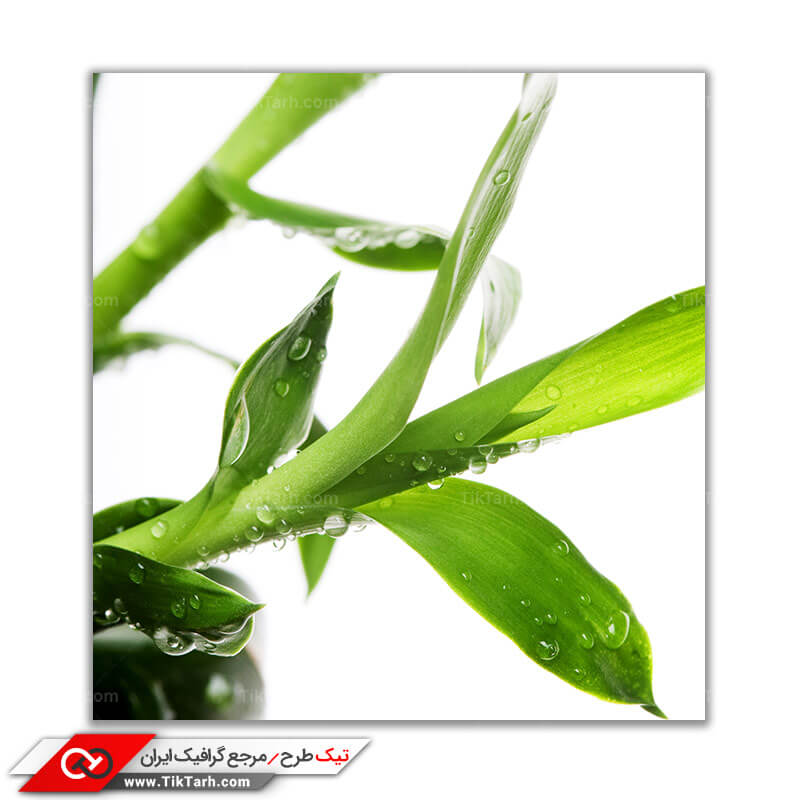 دانلود تصویر لارج فرمت از گیاه بامبو