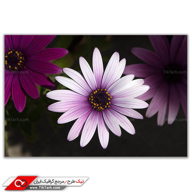 تصویر باکیفیت گل های یاسی