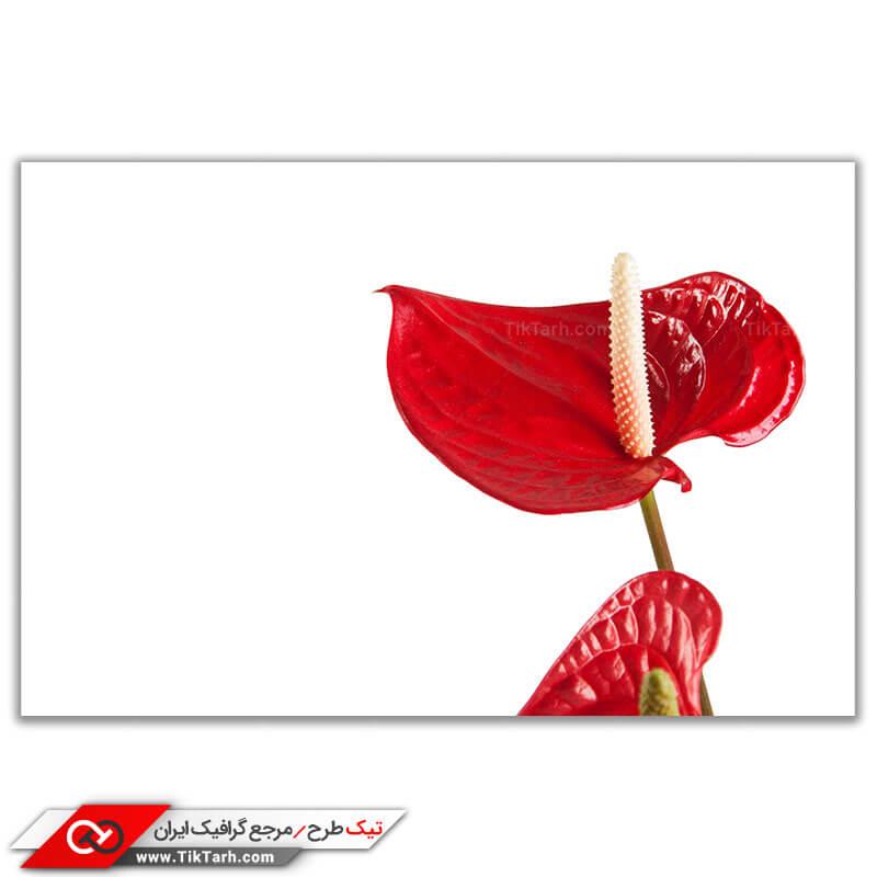 تصویر باکیفت از گل ها طبیعی قرمز