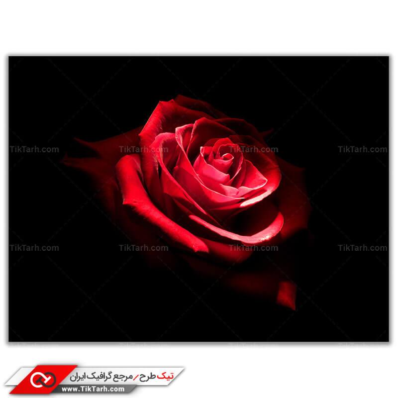 دانلود عکس باکیفیت بوته گل سرخ