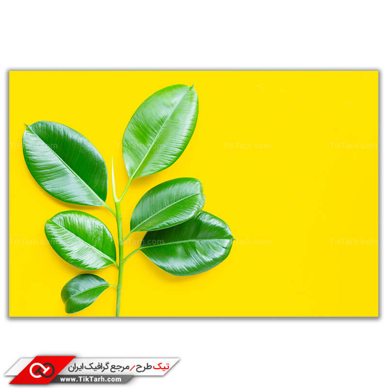 تصویر باکیفیت از گیاه فیکوس