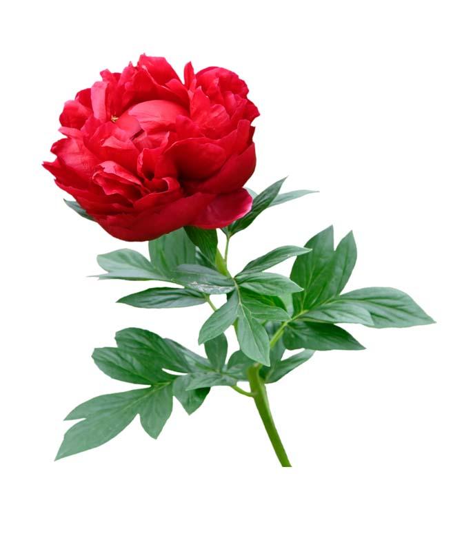 طرح گل رز قرمز