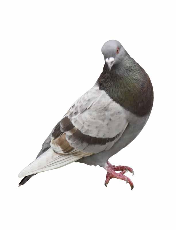طرح کبوتر