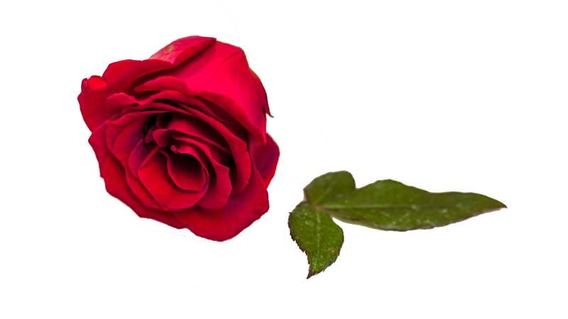 دانلود طرح با کیفیت گل رز قرمز