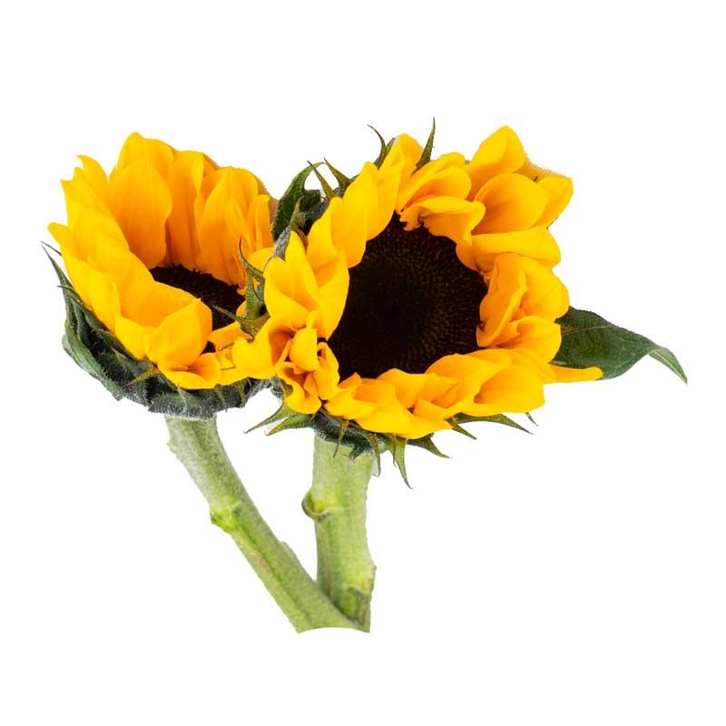 دانلود طرح گرافیکی باکیفیت گل آفتابگردان