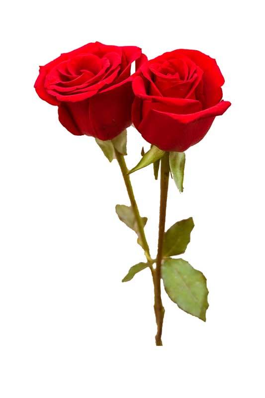 طرح باکیفیت شاخه گل های رز قرمز