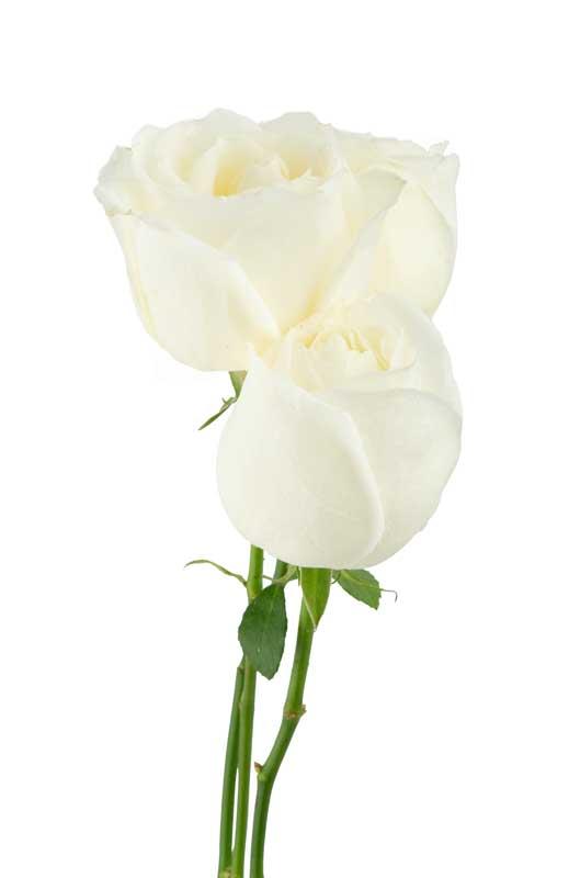 دانلود طرح گرافیکی گل های رز سفید