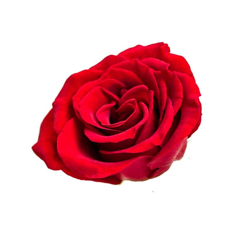 دانلود طرح گرافیکی باکیفیت گل رز قرمز