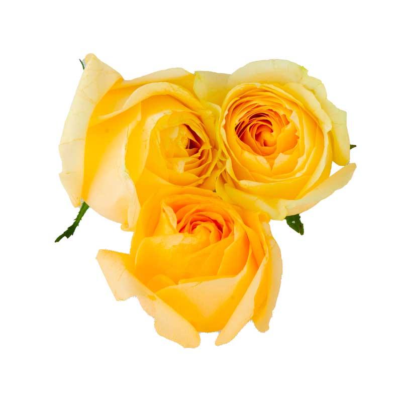 دانلود طرح با کیفیت گل های رز زرد