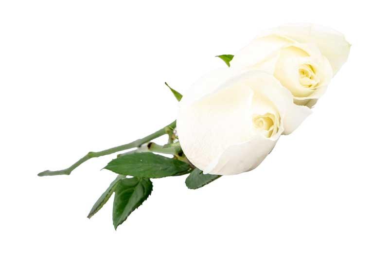 دانلود طرح گرافیکی باکیفیت گل های رز سفید