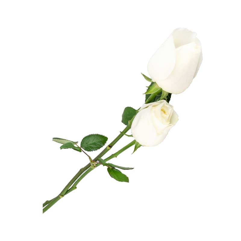 طرح گرافیکی باکیفیت گل های رز سفید