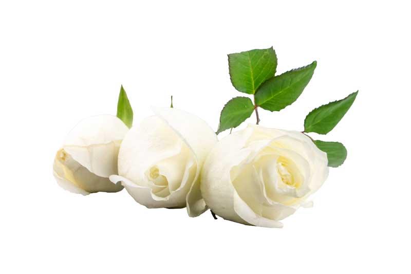 طرح گرافیکی با کیفیت گل های رز سفید