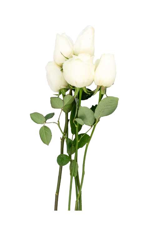 طرح دسته گل رز سفید
