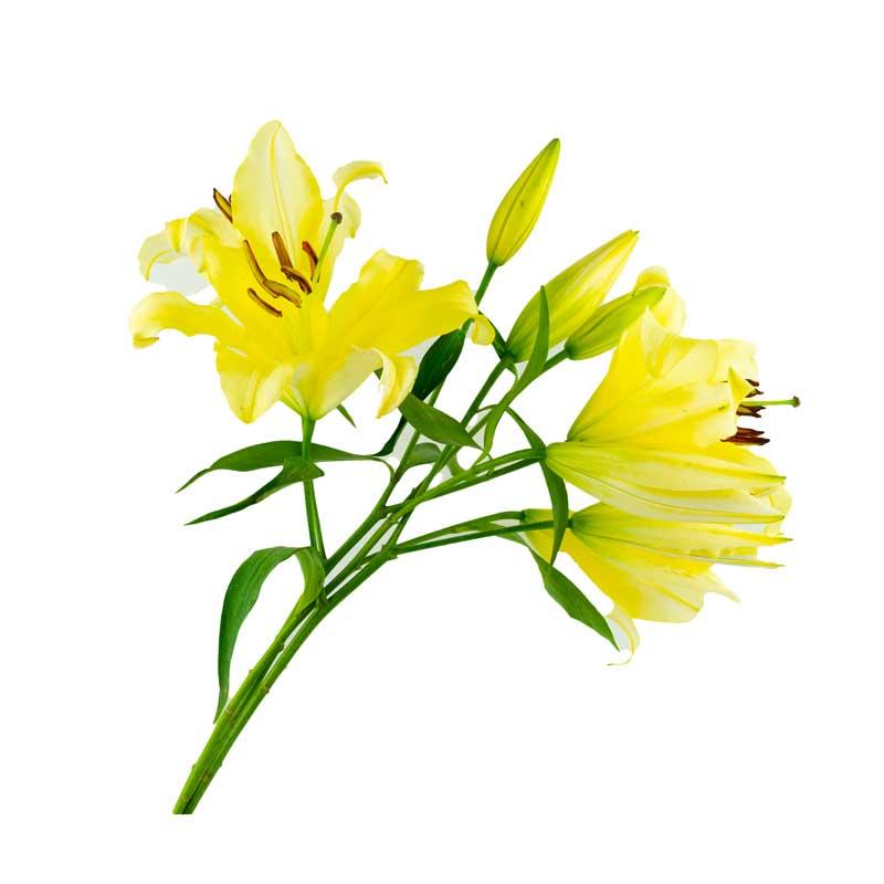 طرح گل های لیلیوم زرد