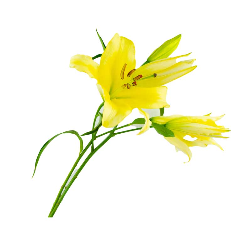دانلود طرح باکیفیت گل های لیلیوم زرد