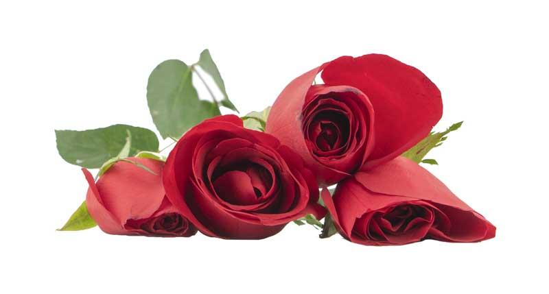 طرح باکیفیت گل های رز قرمز