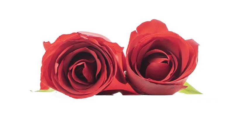 طرح با کیفیت گل های رز قرمز