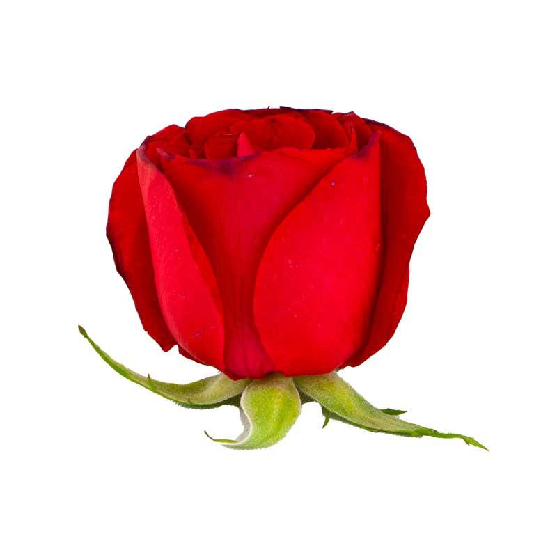 طرح گرافیکی باکیفیت گل رز قرمز