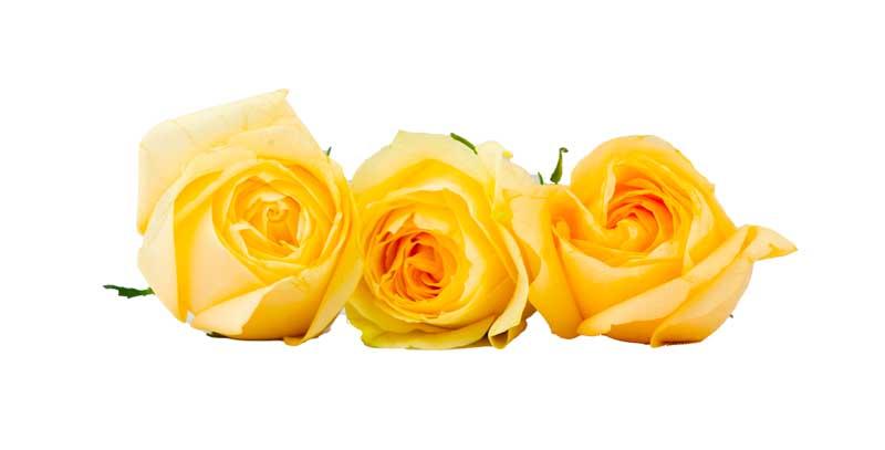 طرح با کیفیت گل های رز زرد