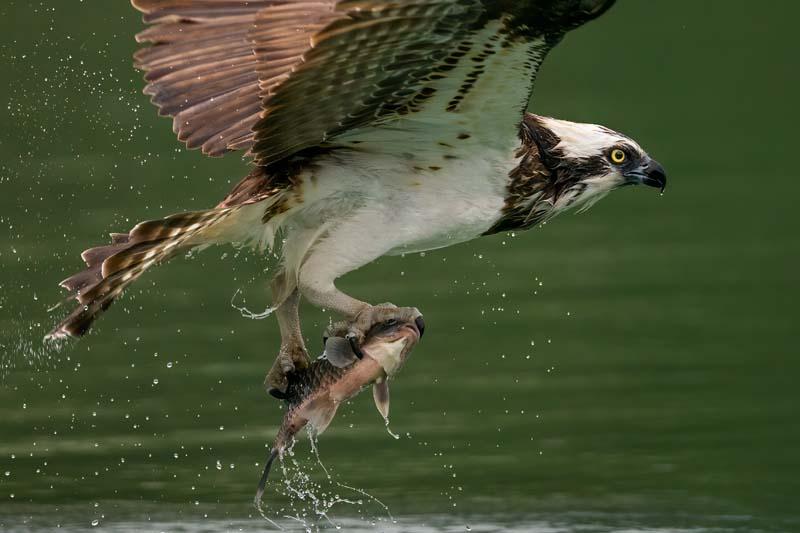 تصویر باکیفیت شکار ماهی توسط شاهین