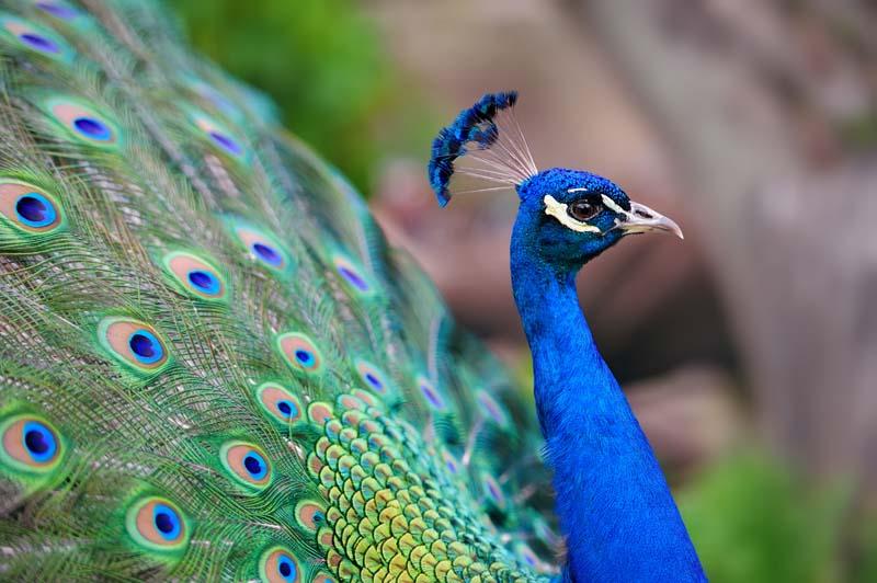 دانلود تصویر باکیفیت طاووس
