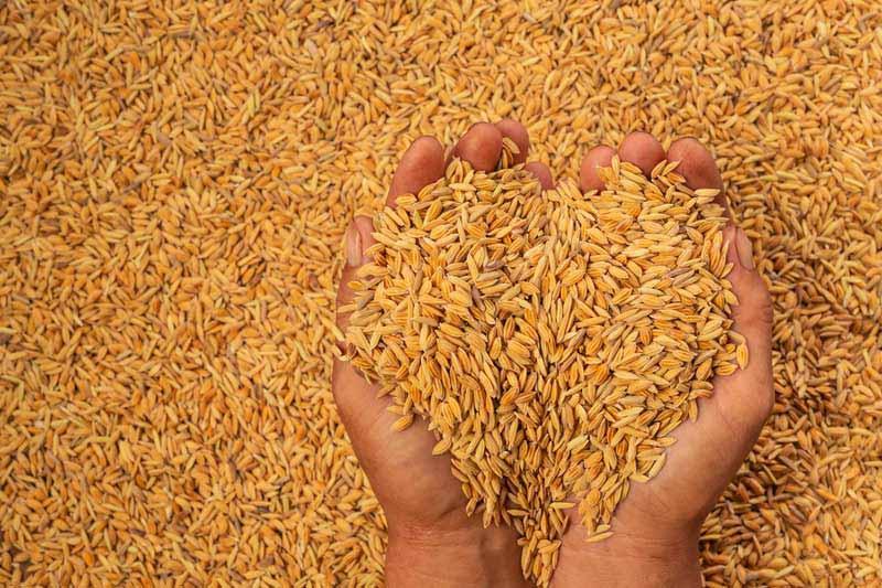 تصویر لارج فرمت از غله چاودار