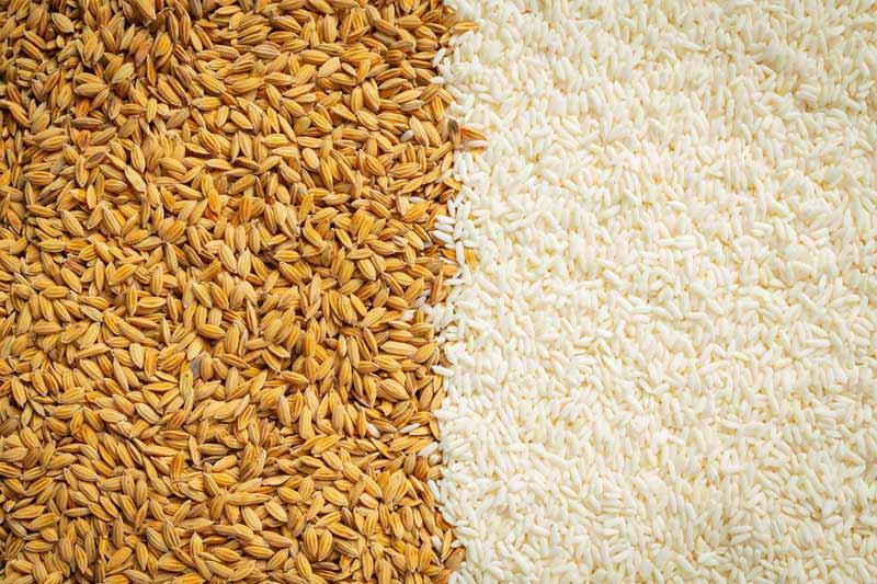 تصویر لارج فرمت از غله چاودار و برنج