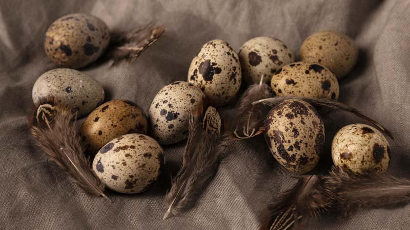 عکس با کیفیت از تخم های بلدرجین