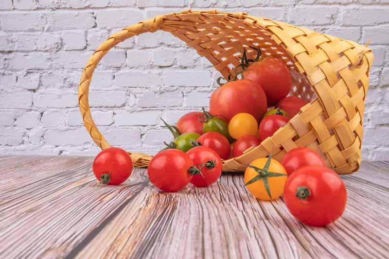 تصویر باکیفیت گوجه های تازه چیده شده