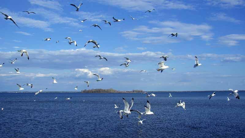 تصویر پرواز مرغان دریایی