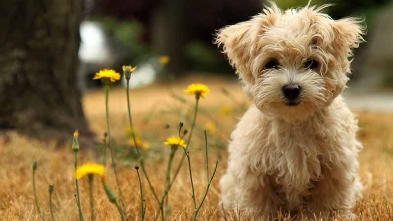 تصویر توله سگ پاکوتاه