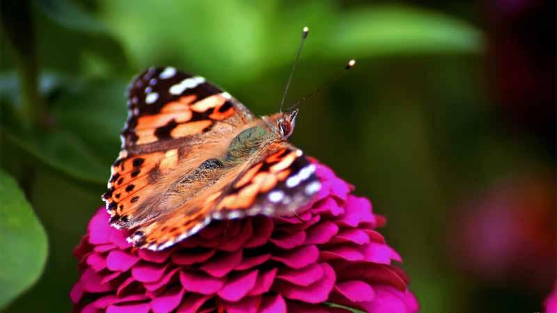 دانلود تصویر باکیفیت پروانه روی گل