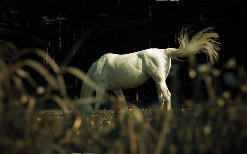 دانلود تصویر اسب سفید